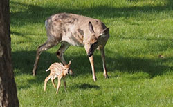 Mother deer and her fawn