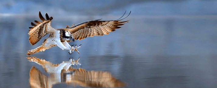 a hawk catching a fish